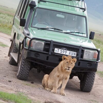 Lion in front of the jeep