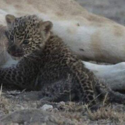 Lioness adopts baby Leopard close up of leopard Amazing Moment