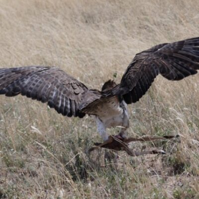Martial Eagle with Impala Amazing Moments