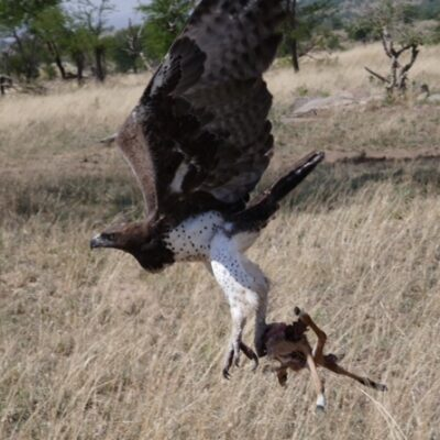 Martial Eagle with Impala in flight Amazing Moments