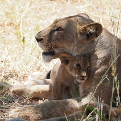 Lion with a baby cub
