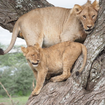 Lioness and cub in tree