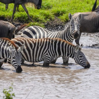 Zebra and wildebest in the watering hole